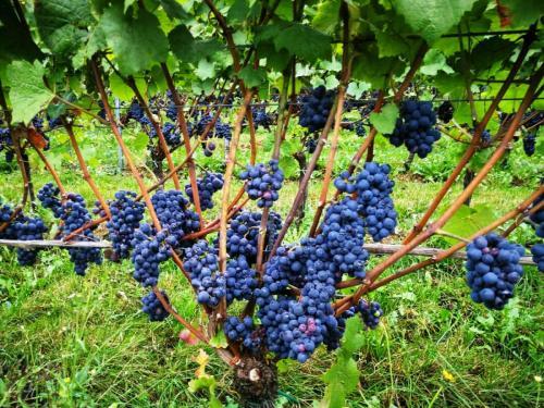 Wijnwandeling 7 september 2018 rondom Ubachsberg